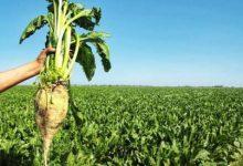 صورة قطاع الشمندر السكري يوفر 3 ملايين يوم عمل بجهة بني ملال خنيفرة
